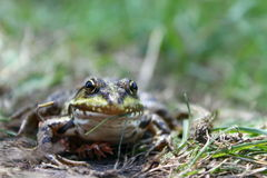 Green frog in the grass Stock Images
