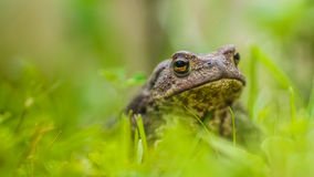 Green frog. On the grass Royalty Free Stock Image