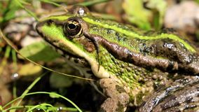 Green frog in the grass stock video