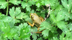 Green frog in a green area of lush plants. Royalty Free Stock Photos