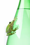 Green Frog on Green Bottle. Green Treefrog resting on a glass water bottle.  Conveys themes of freshness, purity, Earth and ecology Royalty Free Stock Photos
