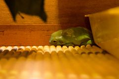 Green frog. At the terrarium Stock Photos