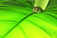 Green frog on green leaf. Clear light Stock Photos