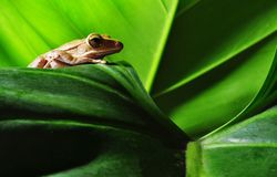 Green frog on green leaf. Yellow frog on green leaf Stock Photography
