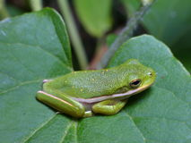Green frog on the green leaf. A small green frog sitting on a green leaf Royalty Free Stock Image