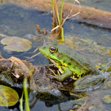 Green frog on green leaves Royalty Free Stock Image