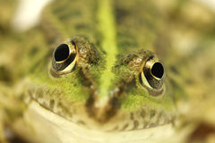 Green frog with a green stripe Stock Images