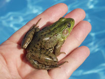 Green Frog in Hand. A Green Frog (Rana Clamitans) is rescued from a swimming pool just outside Montreal, Quebec, Canada stock photos
