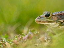Green frog head. European pool frog (Pelophylax lessonae) head side view with shallow depth Royalty Free Stock Photos