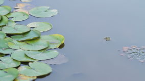 Green Frog head in the pond. Frog head in the pond stock video footage