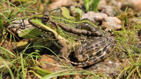 A frog hides in the grass. The green frog hid in the grass on the river bank Stock Photography