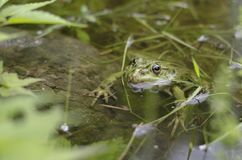 The green frog royalty free stock images