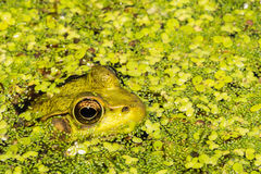 Green Frog hiding in duck weed. Stock Photo