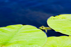 Green Frog hiding under water lily leaves Stock Image