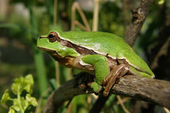 Green frog Hyla arborea. Green frog in the bush in the garden Stock Photo
