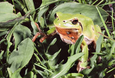Green frog, Hyla, on grass Royalty Free Stock Photo