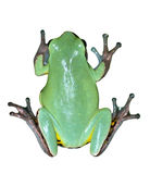 Green frog isolated Royalty Free Stock Images
