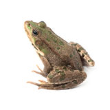 Green frog isolated Stock Images