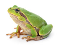 Green frog isolated. Stock Photography