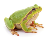 Green frog isolated. Stock Image
