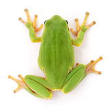 Green frog isollated. Stock Photography