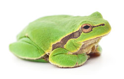 Green frog isollated. Stock Photos