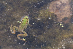 Green Frog its head out of the water. Stock Image