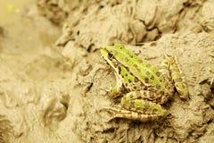 Mud and green lake frog Stock Photos
