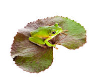 Green frog on leaf. White-lipped tree frog or Litoria Infrafrenata sitting on a leaf Royalty Free Stock Image