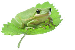 Green Frog on leaf. Isolated peaceful Hyla cinerea green tree frog gazing from atop a green leaf Stock Image