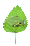 Green Frog on leaf. Isolated portrait orientation of a peaceful Hyla cinerea green tree frog gazing from atop a green leaf Stock Image