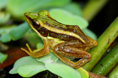 Green frog on leaf royalty free stock images