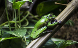 Green frog on  a leaf. Green frog on a leaf Royalty Free Stock Photos