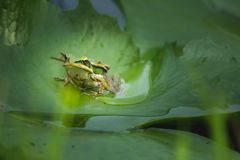Green frog on the leaf royalty free stock image