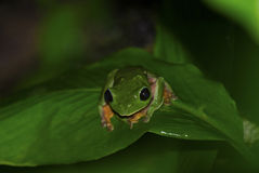green frog on a leaf stock images