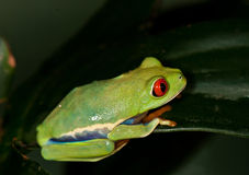 Green frog on a leaf Stock Photography