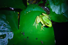 A green frog Stock Photo