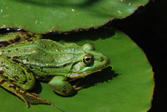 Green frog on lily Royalty Free Stock Images