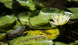 Green Frog on Lily Pad Stock Image