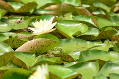 Green Frog and Lily Pads Stock Images