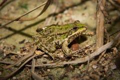 Green Frog. Lithobates (Rana) clamitans melanota Royalty Free Stock Image