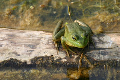 Green Frog on a log Stock Photography