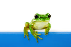Green frog looking out of cooking pot Royalty Free Stock Images