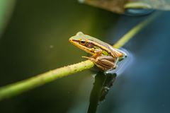 The green frog on the lotus leaf. Royalty Free Stock Image