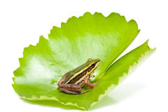 Green frog on a lotus leaf Stock Photo
