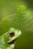 Green frog macro. Frog on green background. This tree frog Hypsiboas riojanus lives in the valleys of the Bolivian andes. A cute amphibian in need for nature Royalty Free Stock Photos