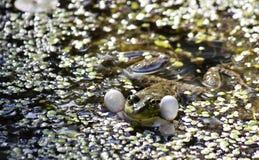 Green frog-male balloons sound resonators to croak Stock Photos