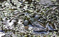 Green frog-male balloons sound resonators to croak Stock Image