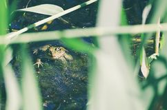 Green Frog in Marsh Royalty Free Stock Images