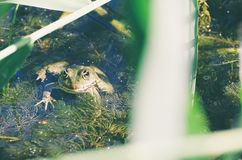 Green Frog in Marsh Stock Photography